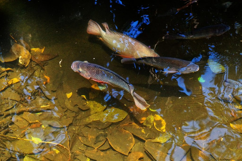 Stocking your aquatic wonderland the top 5 pond fish for Pond stocking fish for sale